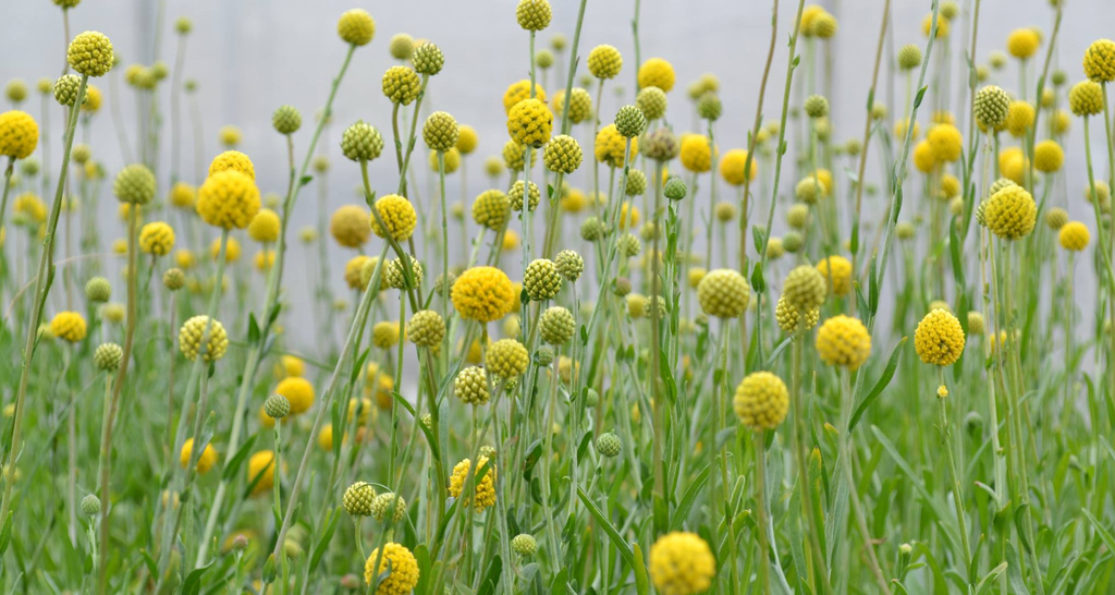 Pycnosorus chrysanthes - Golden Billy Buttons. The Billy Buttons are at their best at the moment. You can never have too much yellow in the garden!