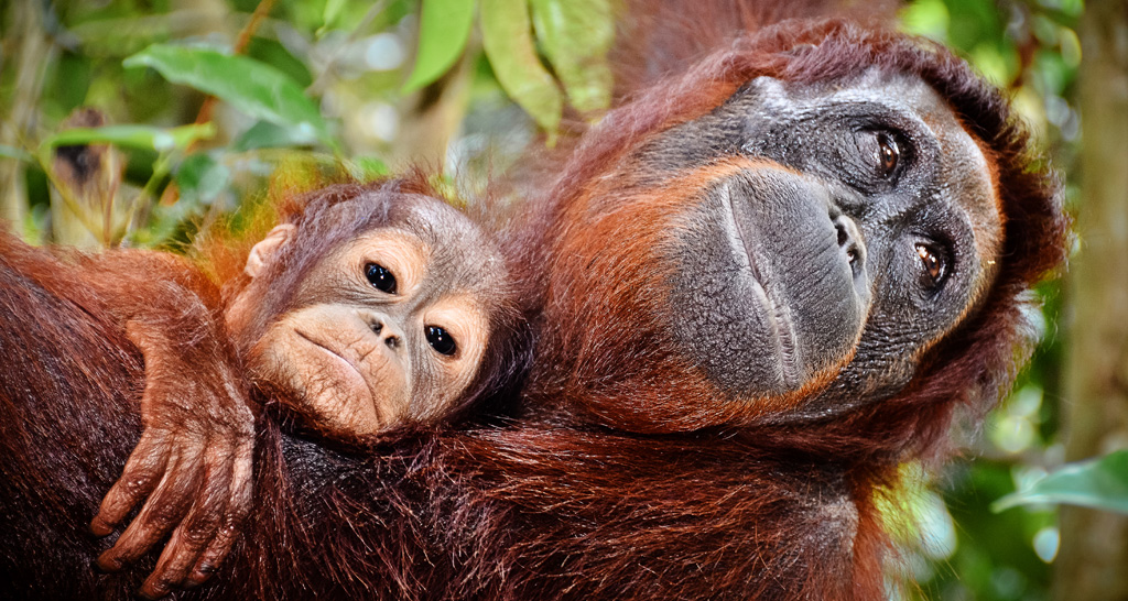 Photo: Orangutans at Tanjung Puting. Photo: Gemma i Jere | Flickr | CC BY-NC-ND 2.0