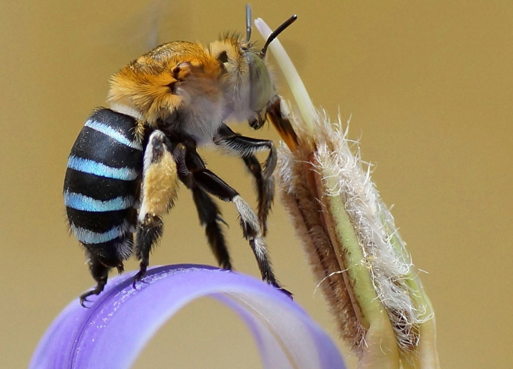 The striking Blue-banded bee has pale opalescent blue stripes on its abdomen. Photo: Chiswick Chap CC BY-SA 4.0
